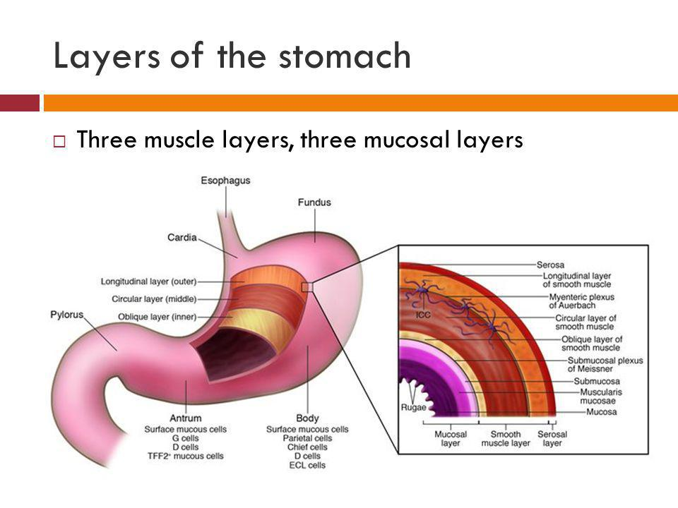 Layers of the stomach Three muscle layers, three mucosal layers