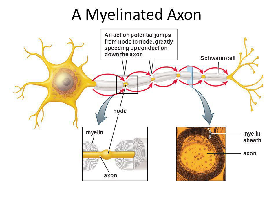A Myelinated Axon An action potential jumps from node to node, greatly