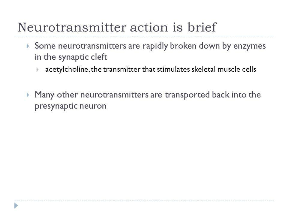 Neurotransmitter action is brief