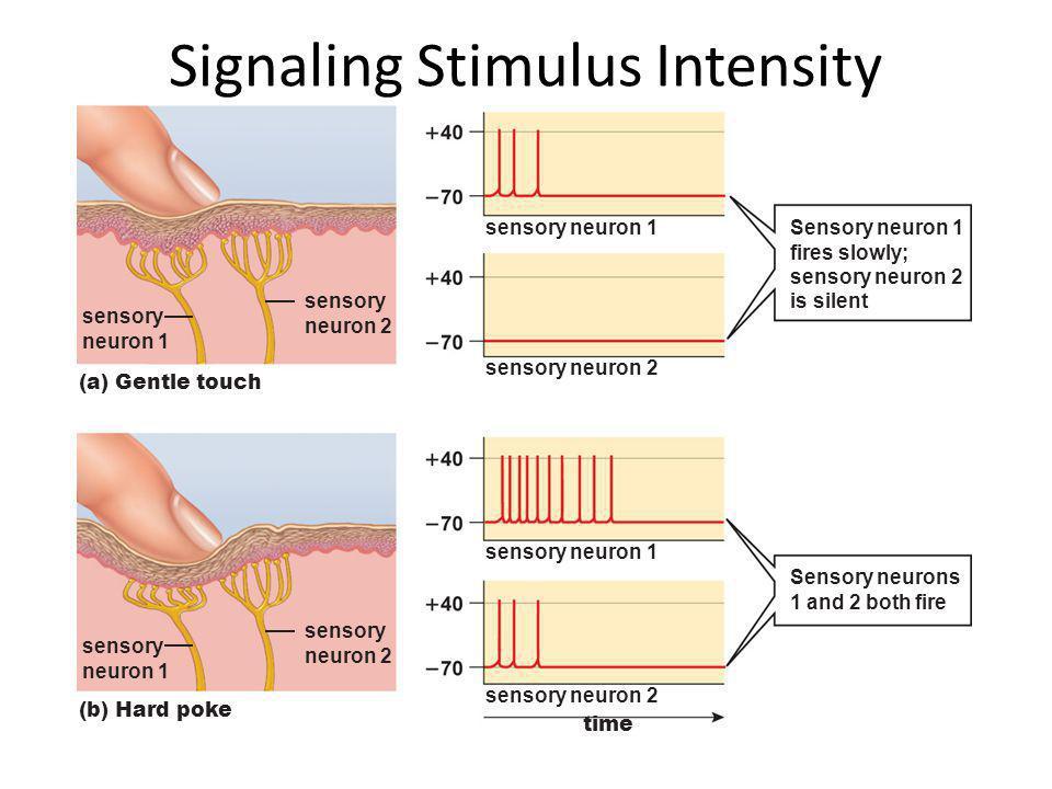Signaling Stimulus Intensity