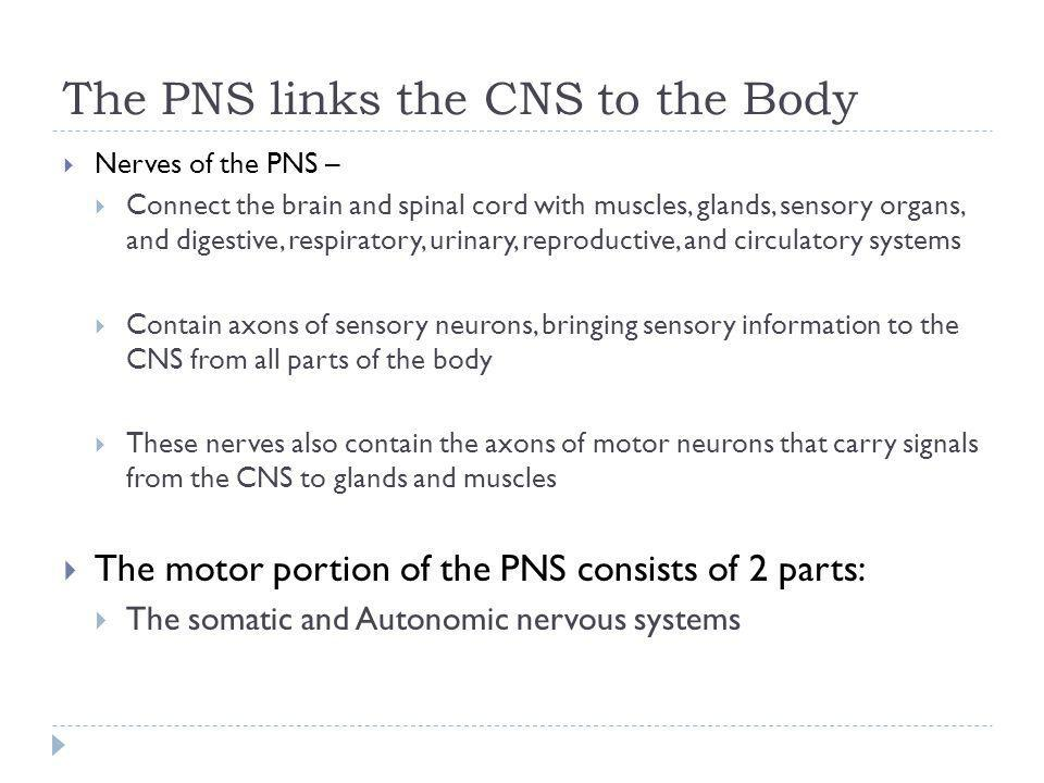 The PNS links the CNS to the Body