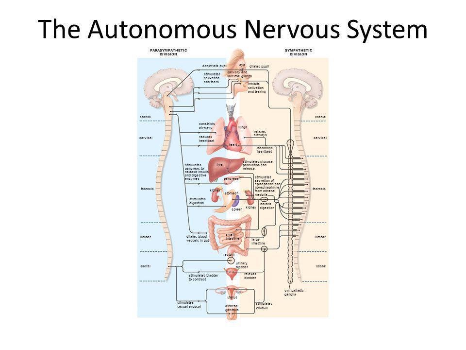 The Autonomous Nervous System