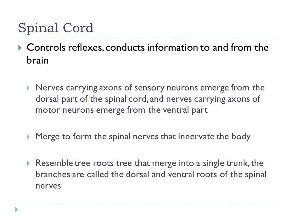 Spinal Cord Controls reflexes, conducts information to and from the brain.