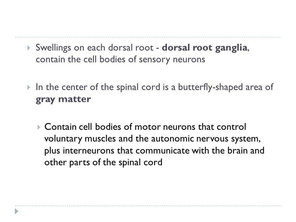 Swellings on each dorsal root - dorsal root ganglia, contain the cell bodies of sensory neurons
