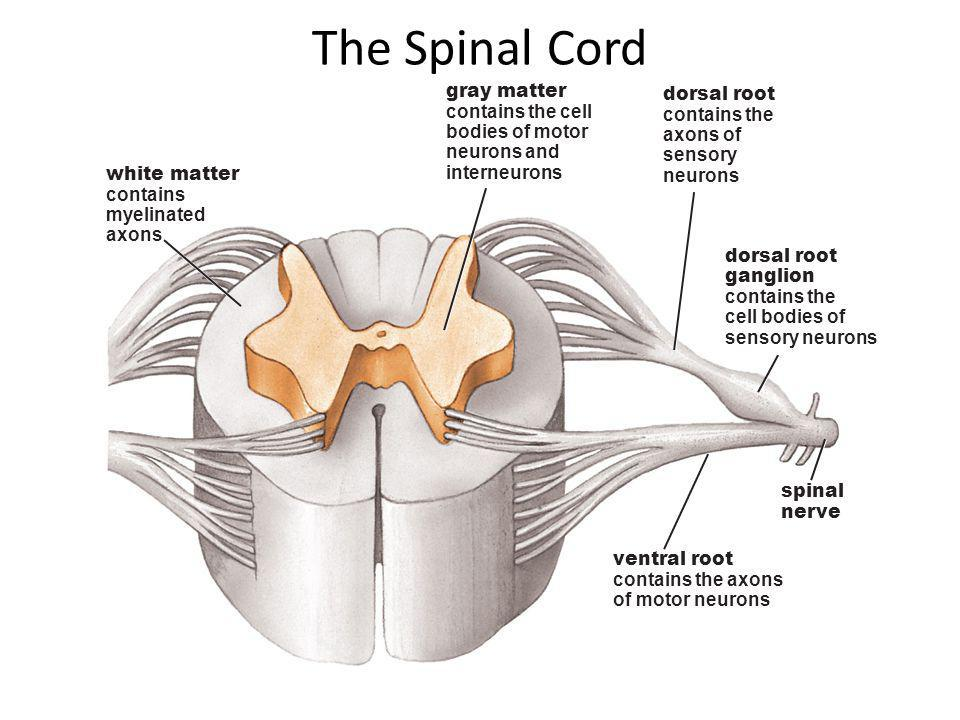 The Spinal Cord gray matter dorsal root contains the cell contains the