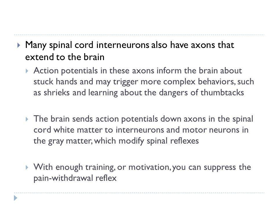 Many spinal cord interneurons also have axons that extend to the brain