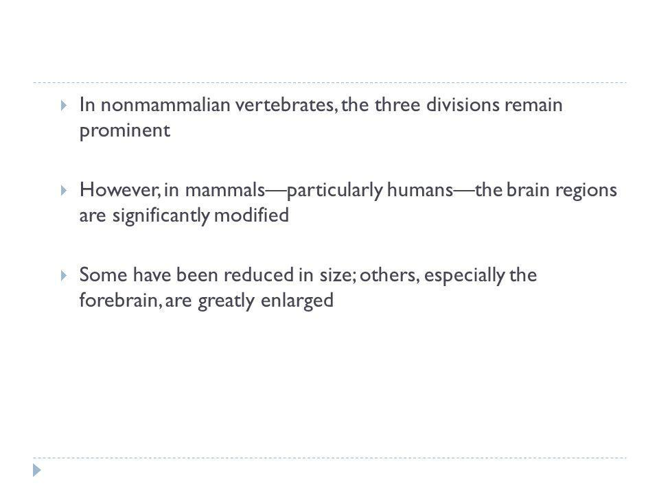In nonmammalian vertebrates, the three divisions remain prominent