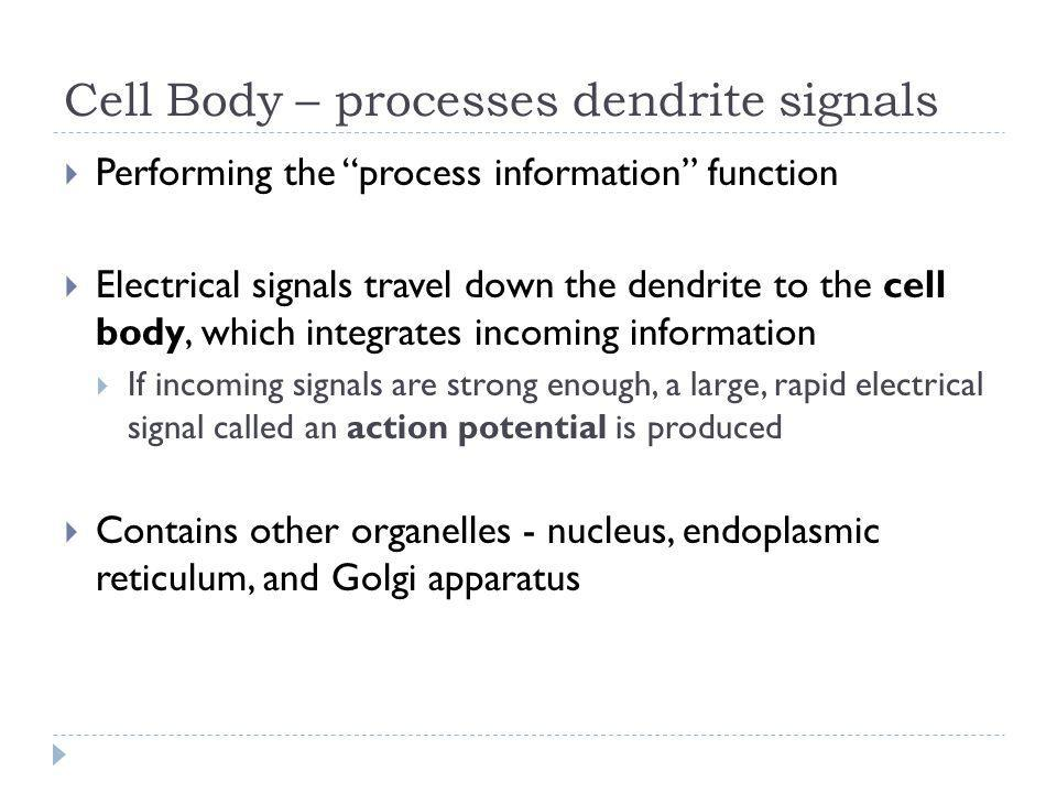 Cell Body – processes dendrite signals