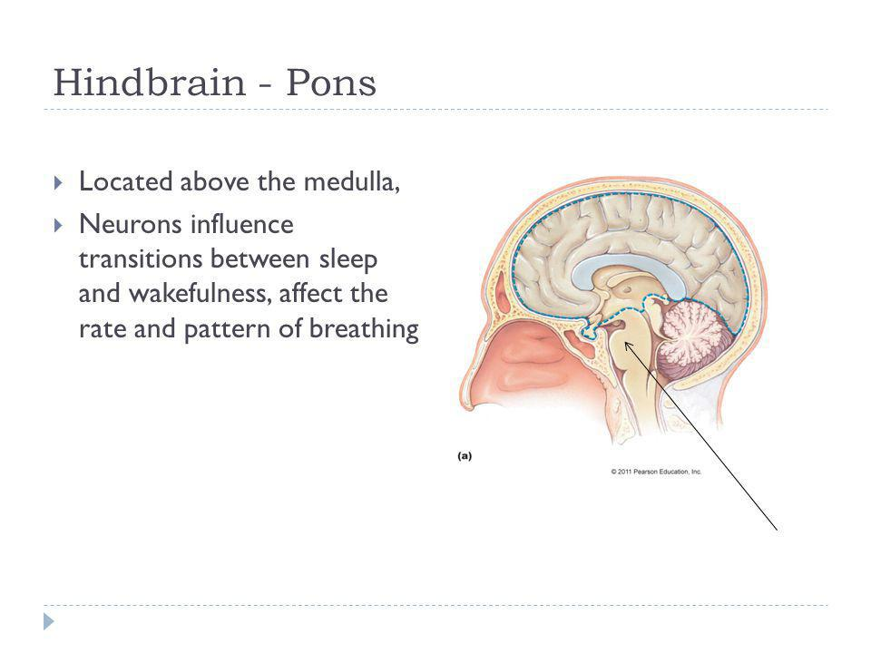 Hindbrain - Pons Located above the medulla,