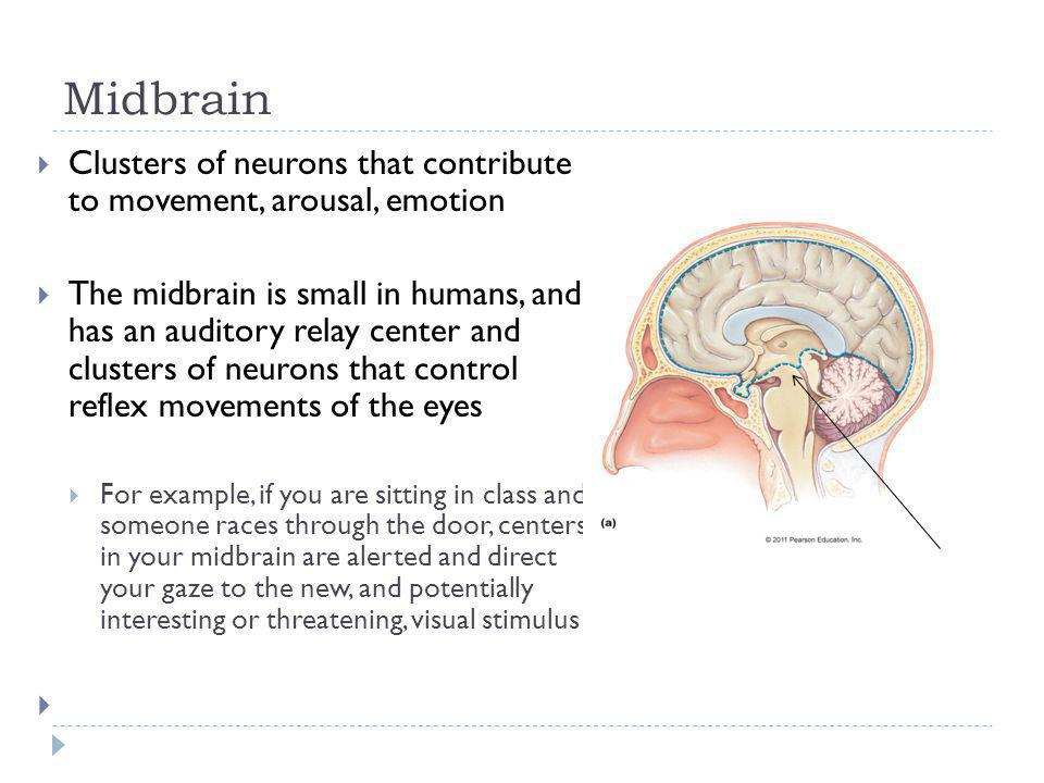 Midbrain Clusters of neurons that contribute to movement, arousal, emotion.