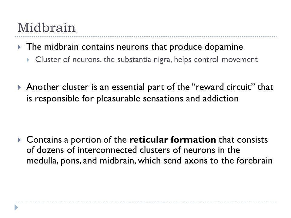 Midbrain The midbrain contains neurons that produce dopamine