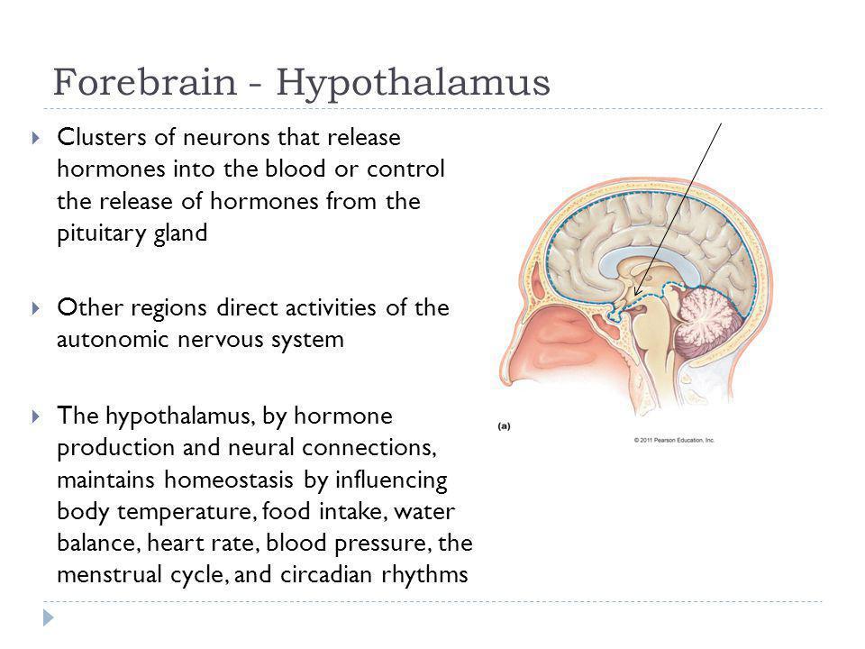 Forebrain - Hypothalamus