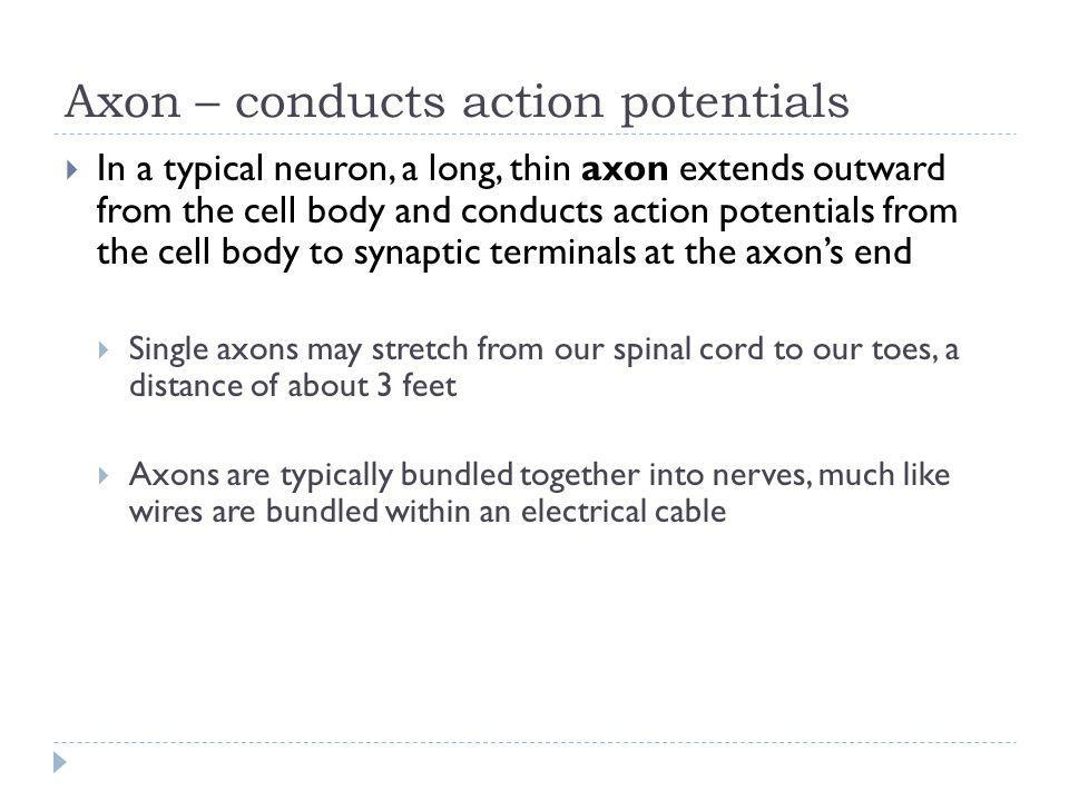 Axon – conducts action potentials