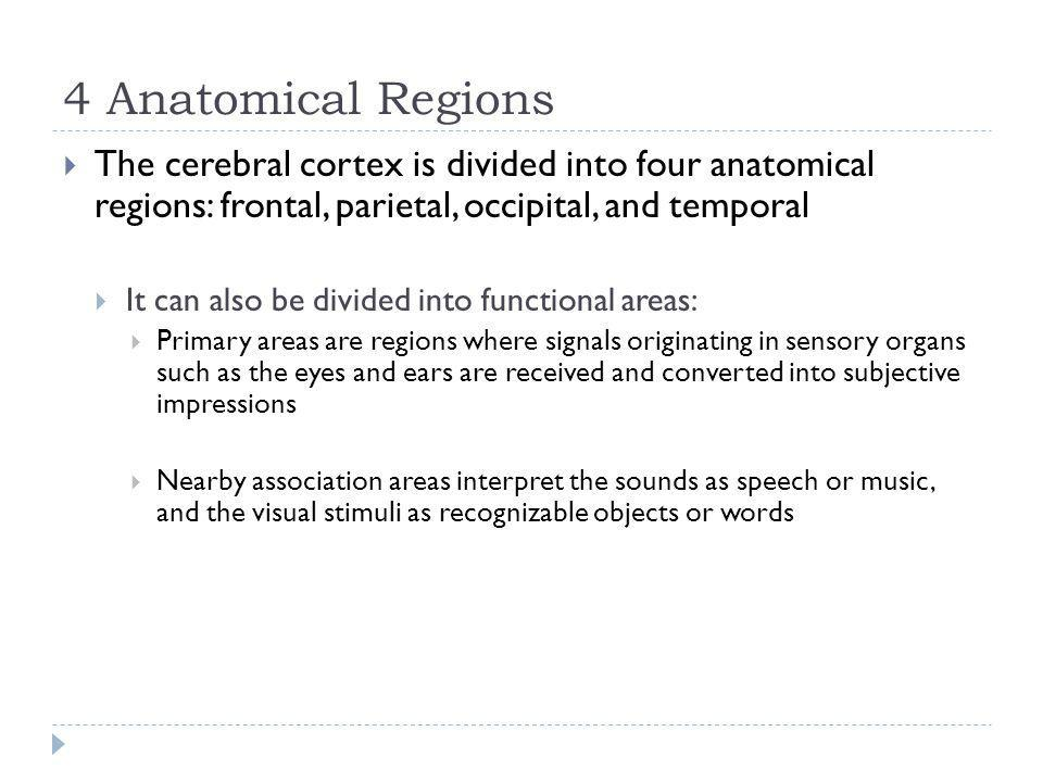 4 Anatomical Regions The cerebral cortex is divided into four anatomical regions: frontal, parietal, occipital, and temporal.