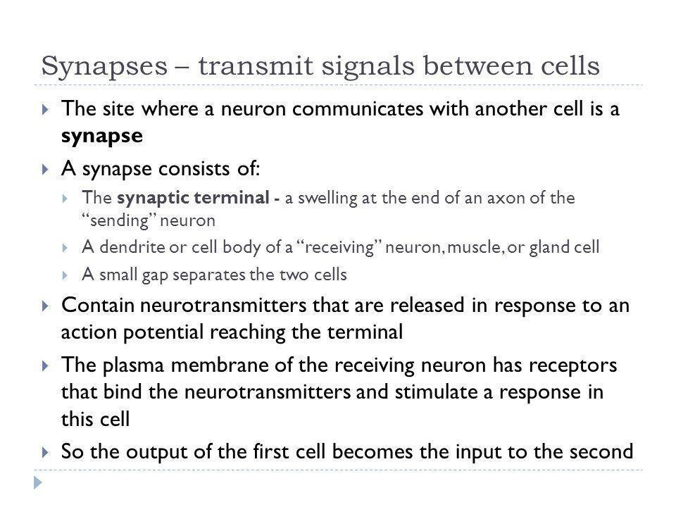Synapses – transmit signals between cells