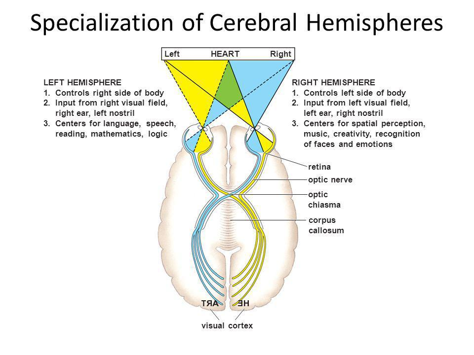 Specialization of Cerebral Hemispheres