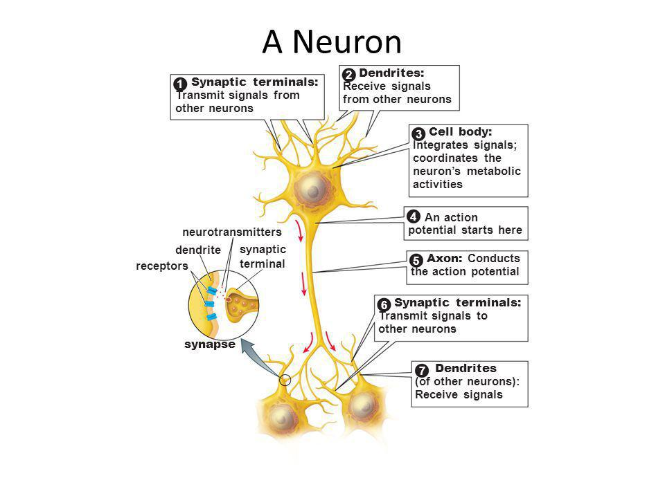 Image result for how does neuron dendrite receive signals