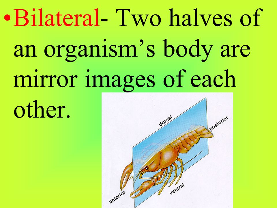 Bilateral- Two halves of an organism's body are mirror images of each other.
