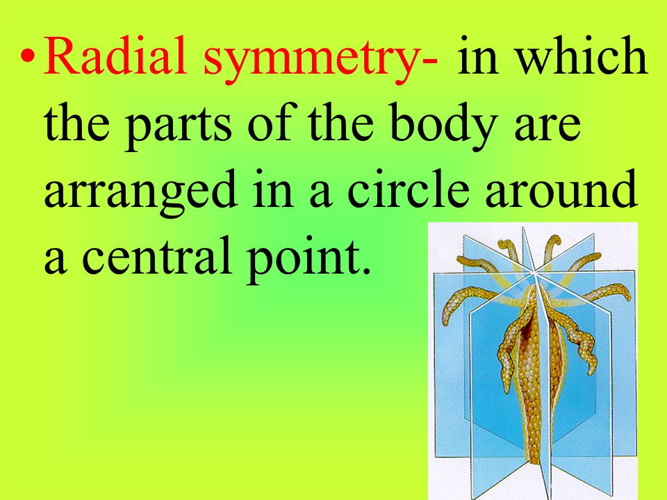 Radial symmetry- in which the parts of the body are arranged in a circle around a central point.