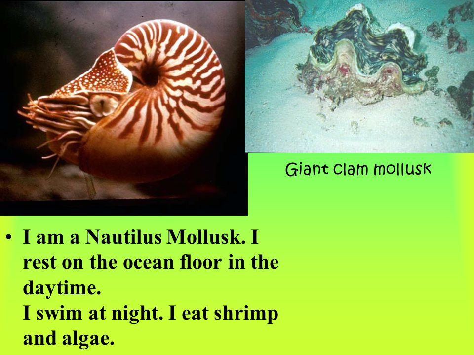 Giant clam mollusk I am a Nautilus Mollusk. I rest on the ocean floor in the daytime.