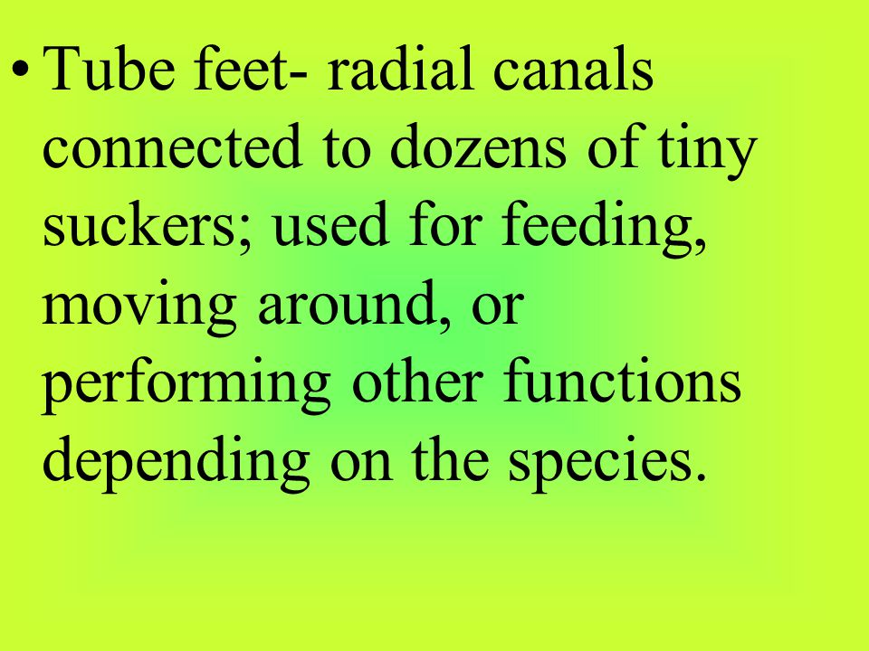 Tube feet- radial canals connected to dozens of tiny suckers; used for feeding, moving around, or performing other functions depending on the species.