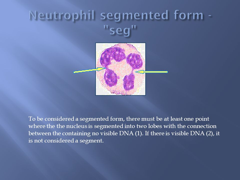 Neutrophil segmented form - seg