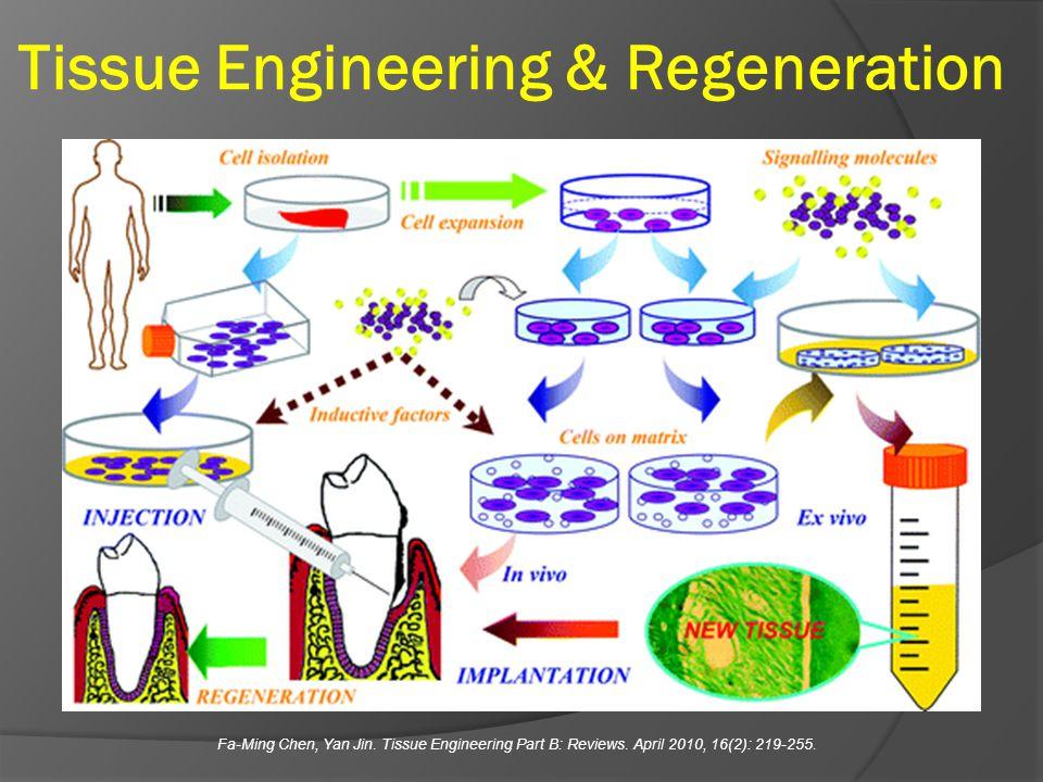 Tissue Engineering & Regeneration