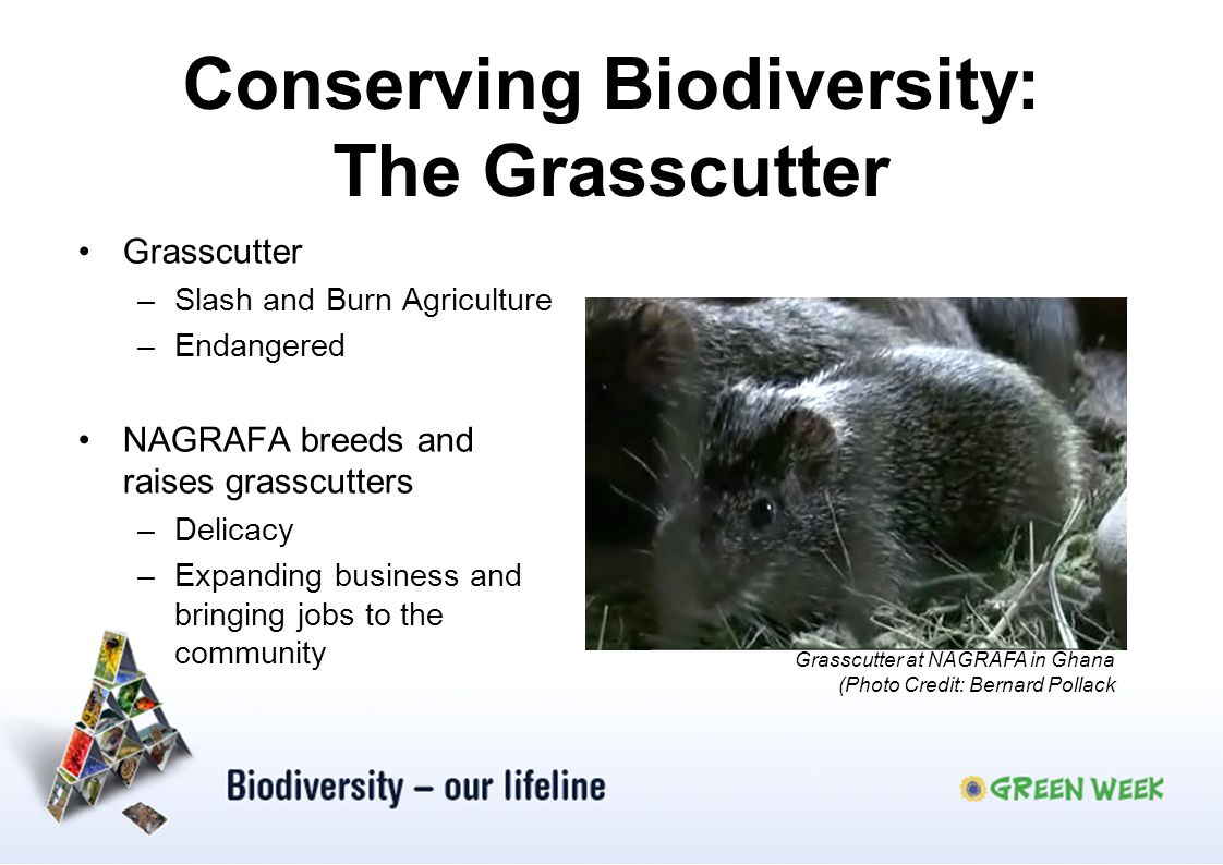 Conserving Biodiversity: The Grasscutter