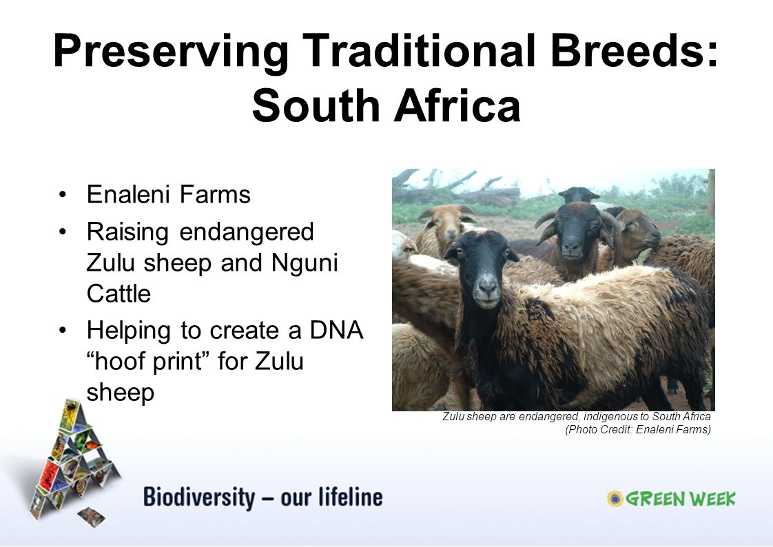 Preserving Traditional Breeds: South Africa