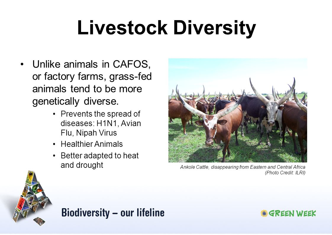 Livestock Diversity Unlike animals in CAFOS, or factory farms, grass-fed animals tend to be more genetically diverse.