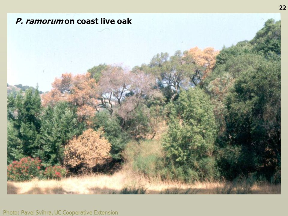 P. ramorum on coast live oak