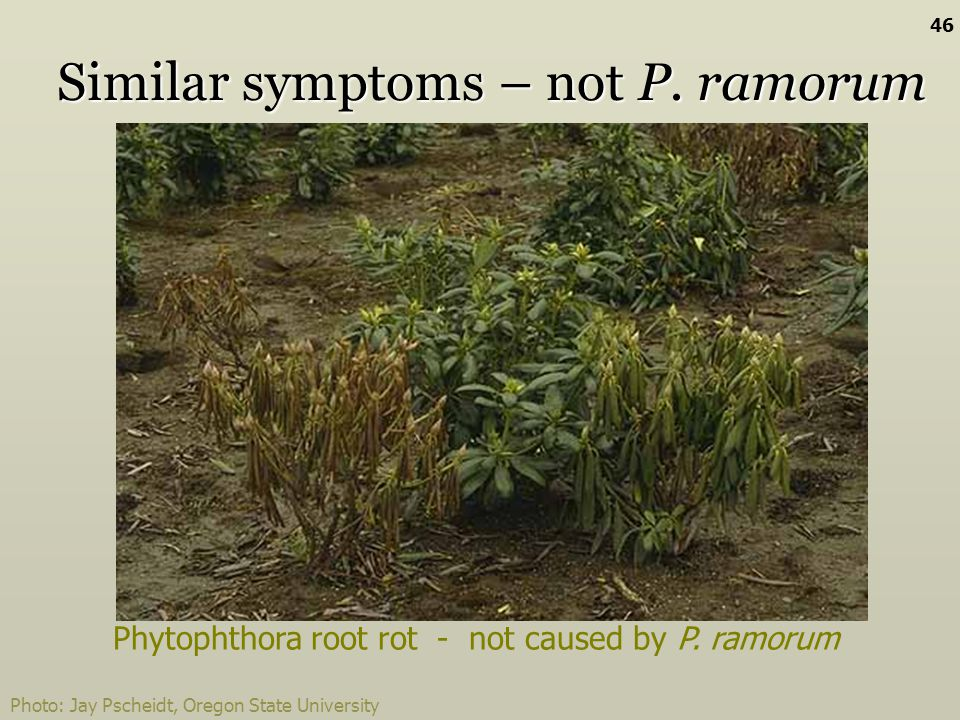 Similar symptoms – not P. ramorum