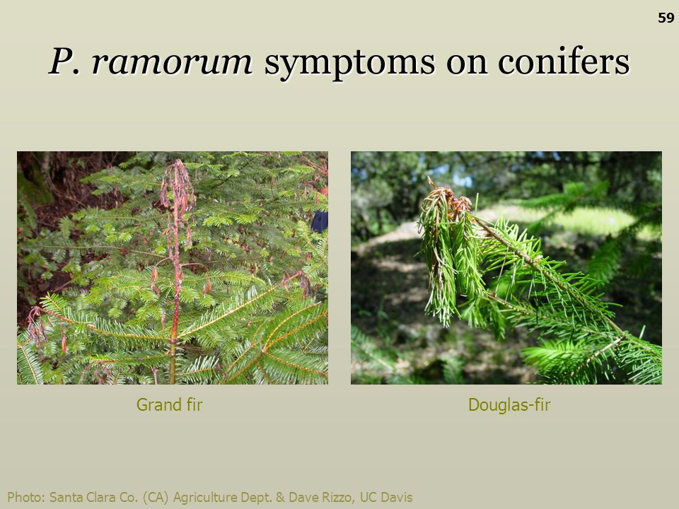 P. ramorum symptoms on conifers