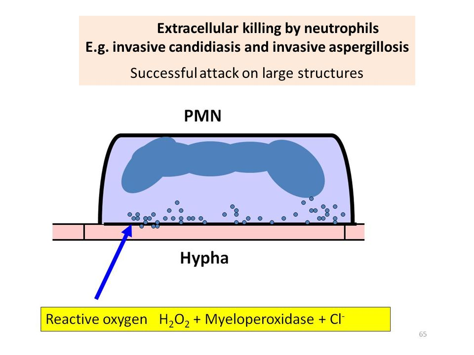 Extracellular killing by neutrophils