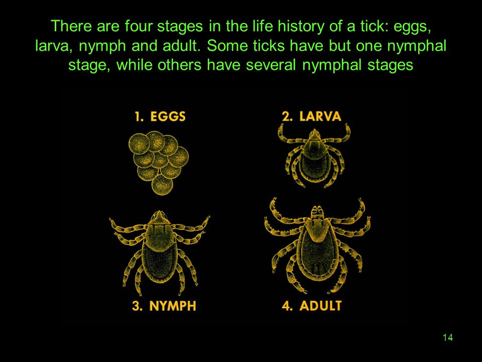 There are four stages in the life history of a tick: eggs, larva, nymph and adult.