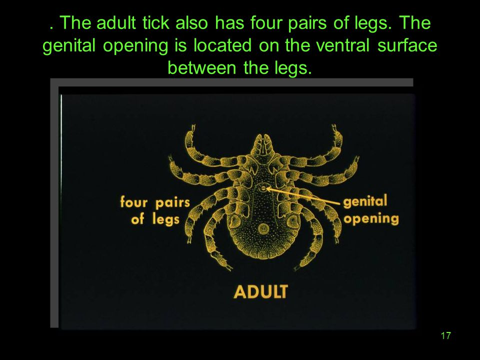The adult tick also has four pairs of legs