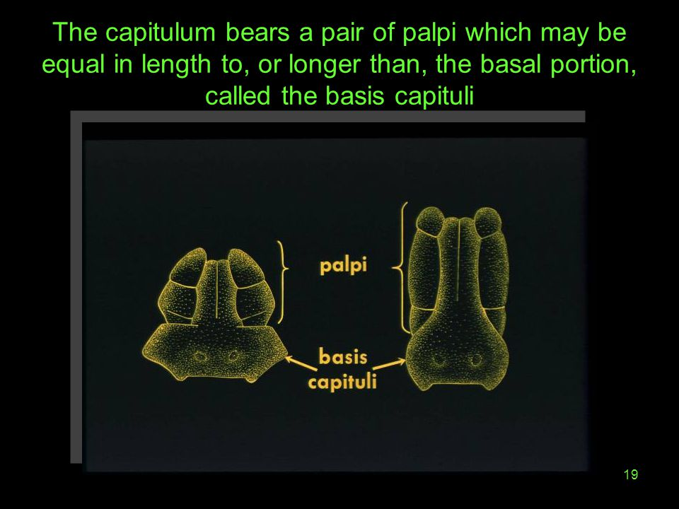 The capitulum bears a pair of palpi which may be equal in length to, or longer than, the basal portion, called the basis capituli