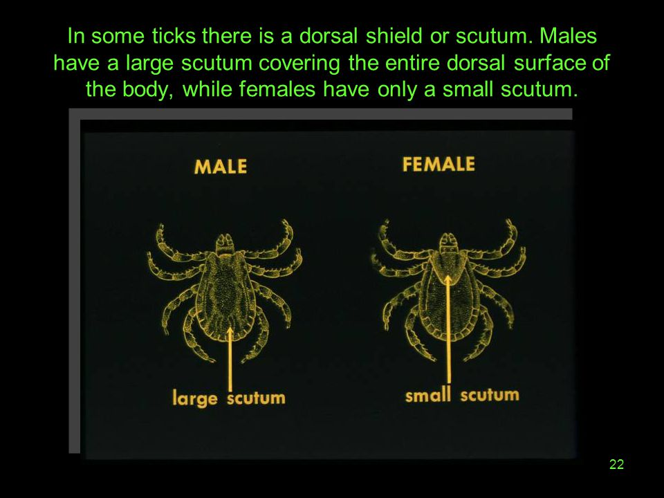 In some ticks there is a dorsal shield or scutum