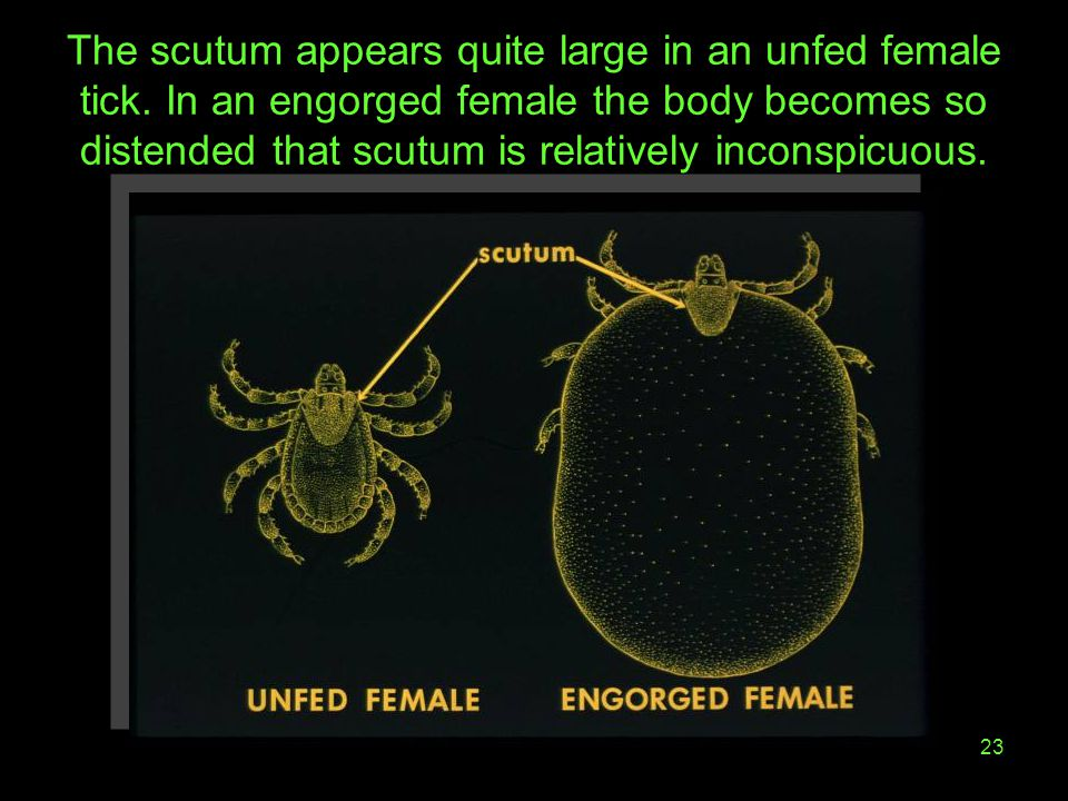 The scutum appears quite large in an unfed female tick