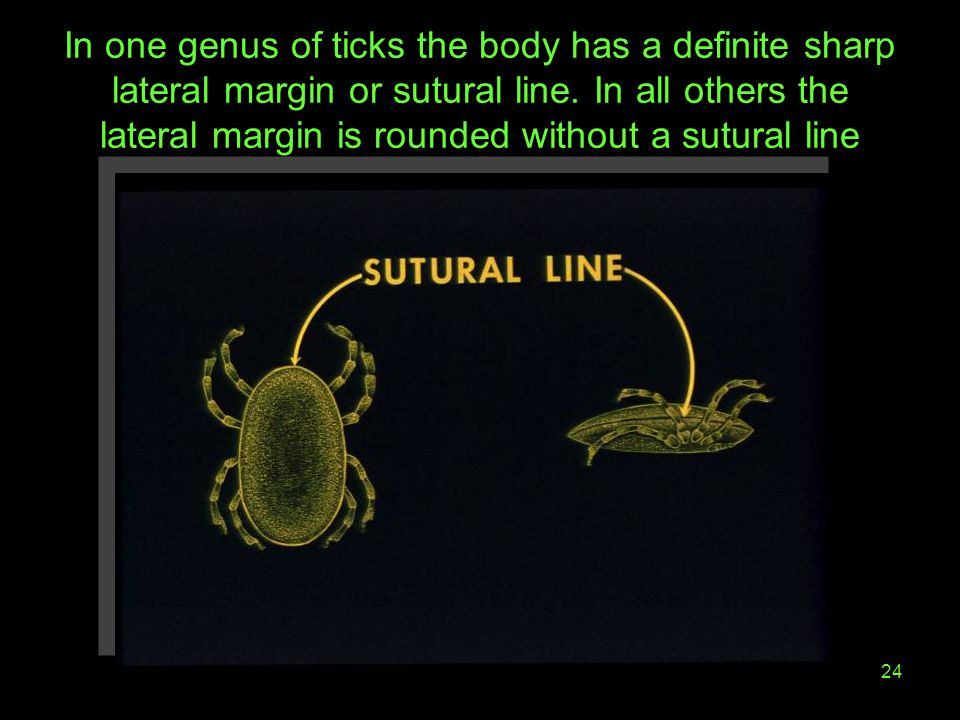 In one genus of ticks the body has a definite sharp lateral margin or sutural line.