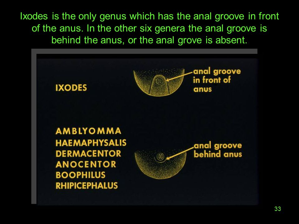 Ixodes is the only genus which has the anal groove in front of the anus.