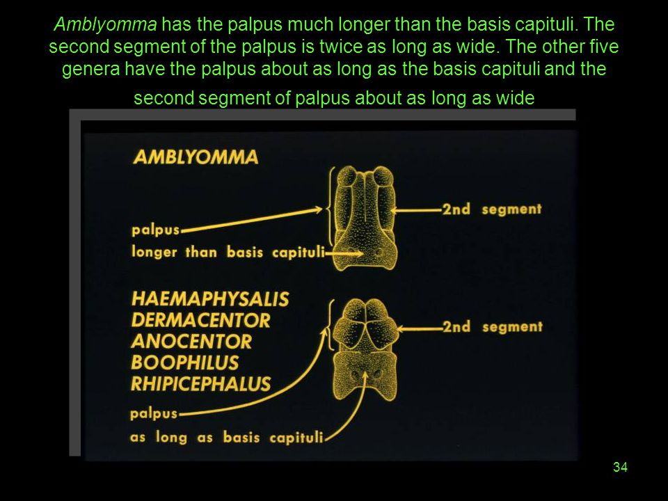 Amblyomma has the palpus much longer than the basis capituli