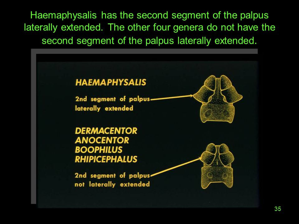 Haemaphysalis has the second segment of the palpus laterally extended