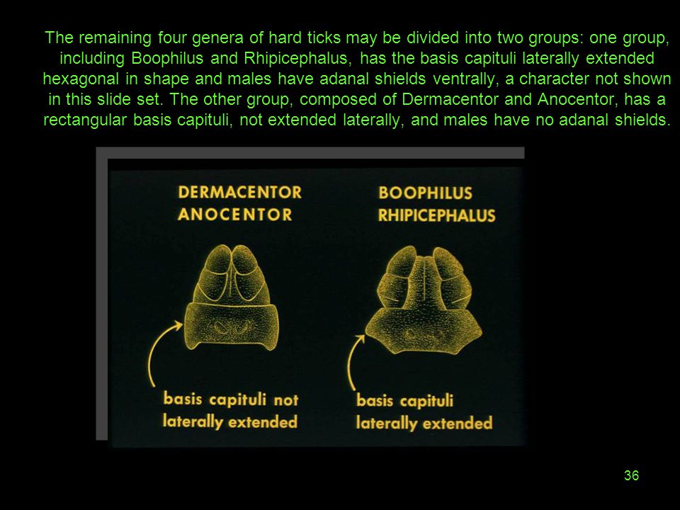 The remaining four genera of hard ticks may be divided into two groups: one group, including Boophilus and Rhipicephalus, has the basis capituli laterally extended hexagonal in shape and males have adanal shields ventrally, a character not shown in this slide set.