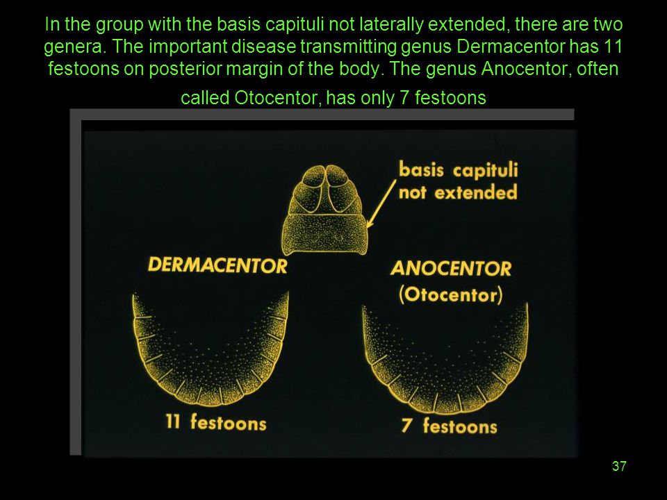 In the group with the basis capituli not laterally extended, there are two genera.