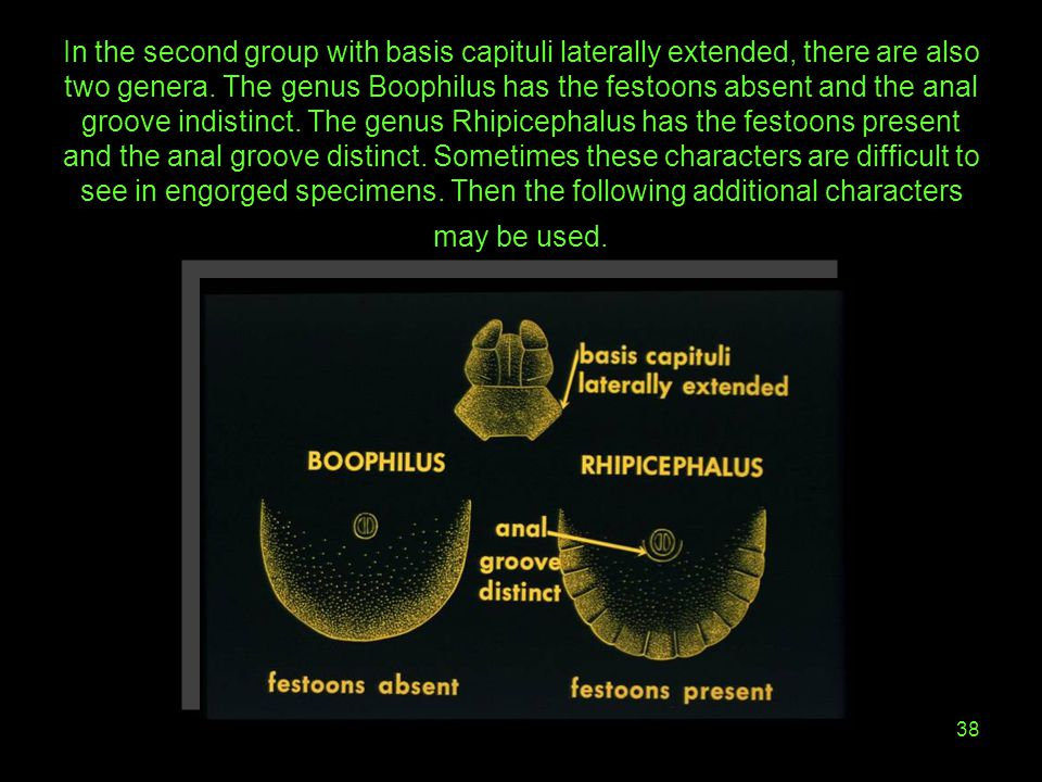 In the second group with basis capituli laterally extended, there are also two genera.