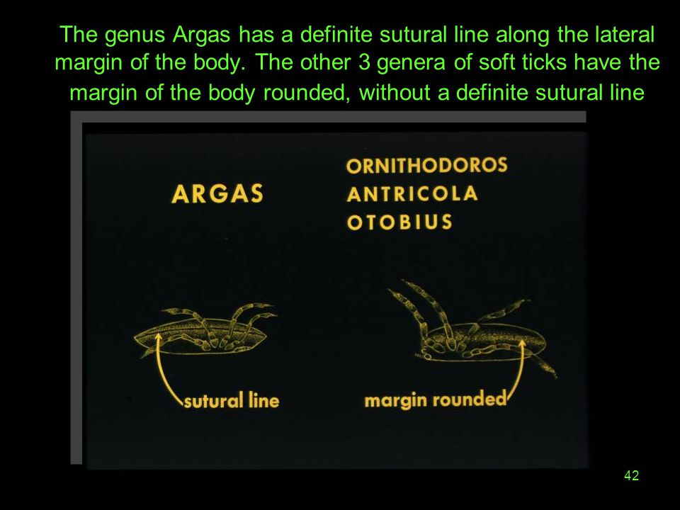 The genus Argas has a definite sutural line along the lateral margin of the body.