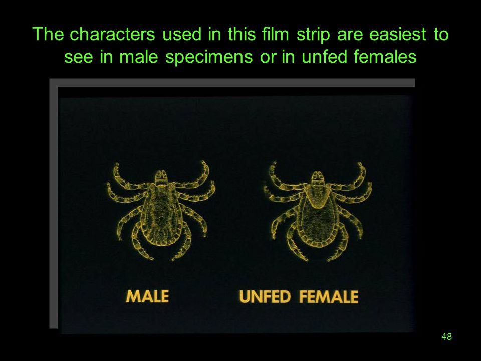 The characters used in this film strip are easiest to see in male specimens or in unfed females