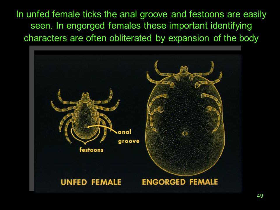 In unfed female ticks the anal groove and festoons are easily seen