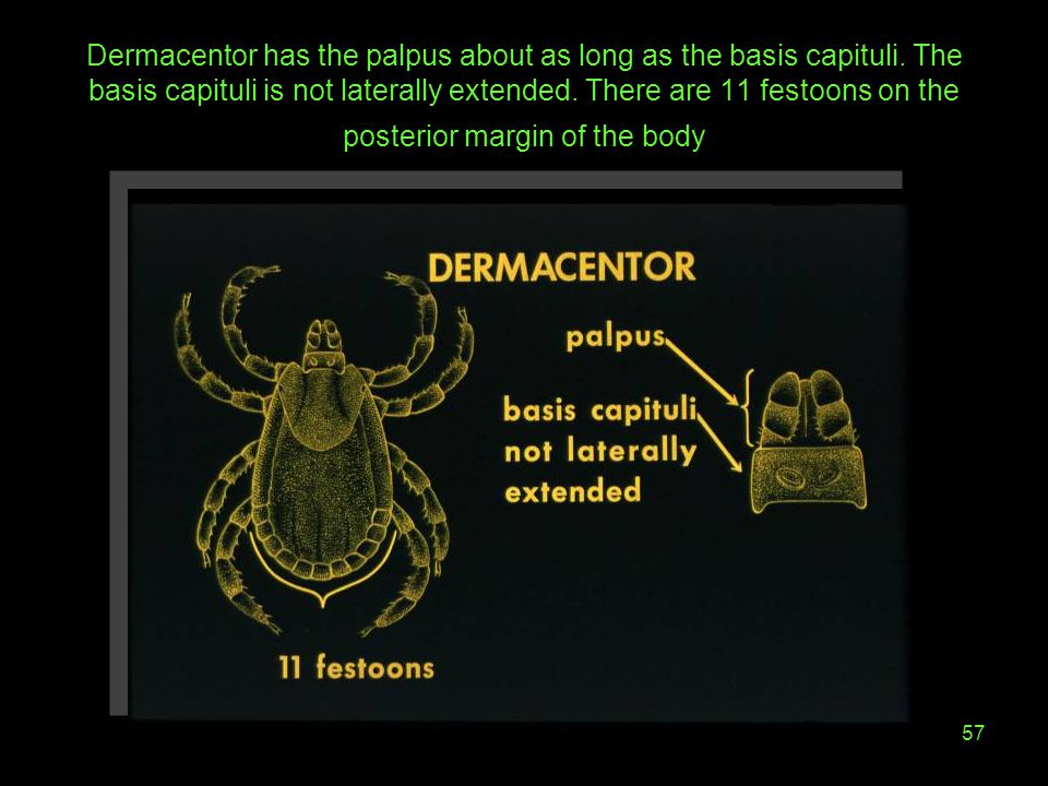 Dermacentor has the palpus about as long as the basis capituli